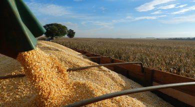 Colheita-milho-Aprosoja-MS-30-08-2013-1