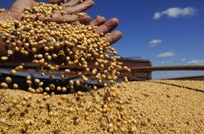 13/04/2010. Crédito: Cadu Gomes/CB/D.A Press. Brasil. Brasília - DF. Brasília 50 anos. Produtor com grãos de soja na região agrícola do PAD-DF.