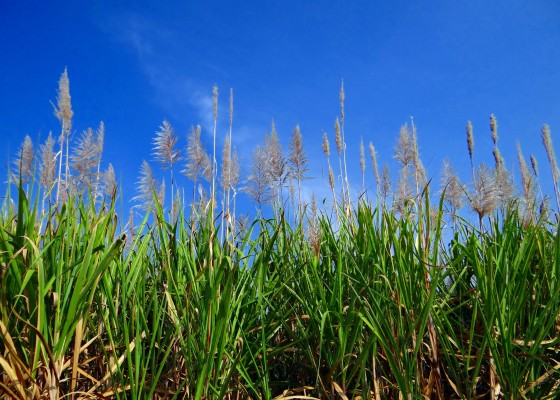 sugarcane-253205_1920