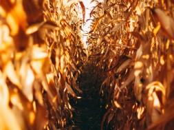 corn-field-2633311_1920