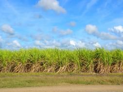 sugar-cane-1928773_1920