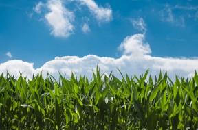 corn-field-440338