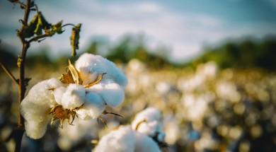 cotton-2807360_1920