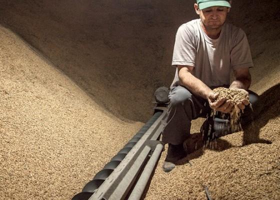 Os produtores de arroz terão R$ 500 milhões disponíveis para financiamento de estocagem e comercialização do produto.