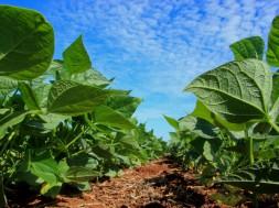 Plantação de soja. Foto: Cleverson Beje/FAEP